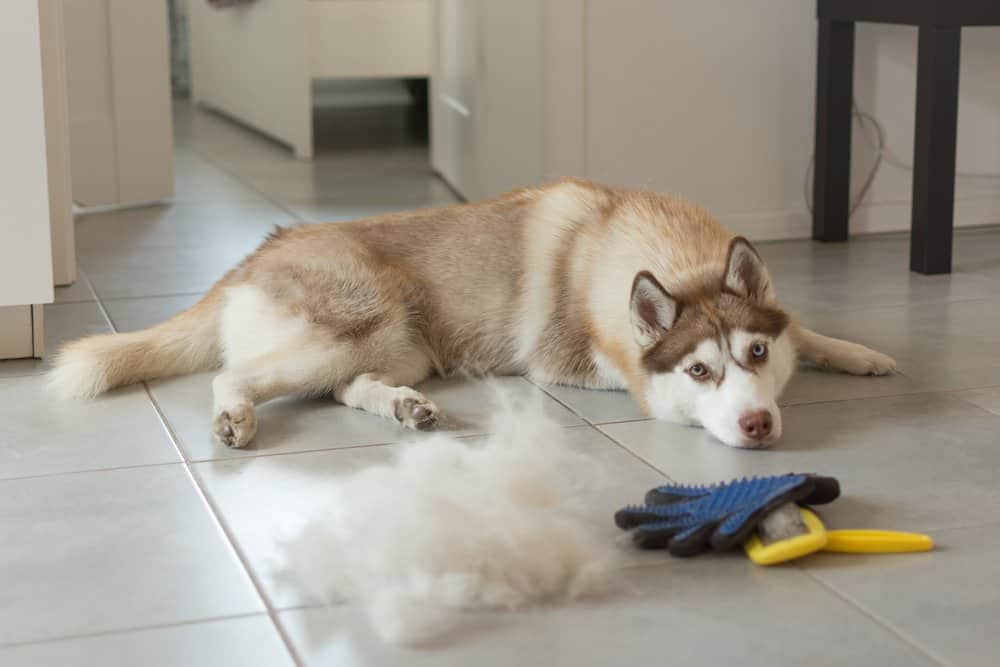 husky shedding season and fur care