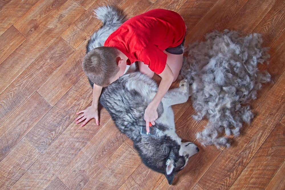 husky's fur being combed by a boy wearing red shirt