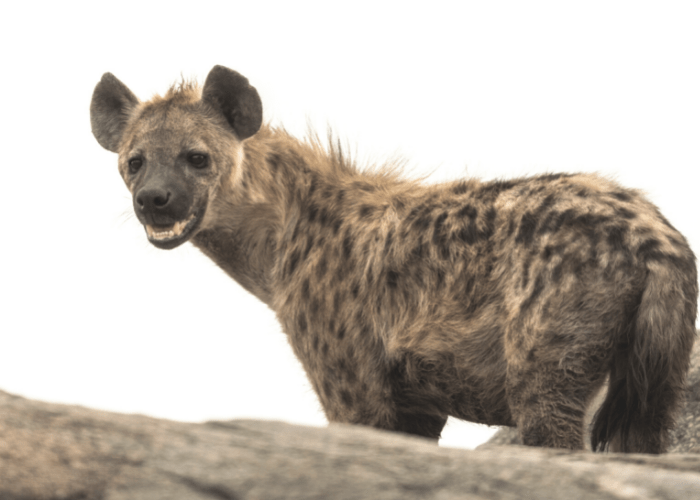 hyena standing and looking on its side