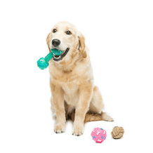 Labrador chewing indestructible dog toys