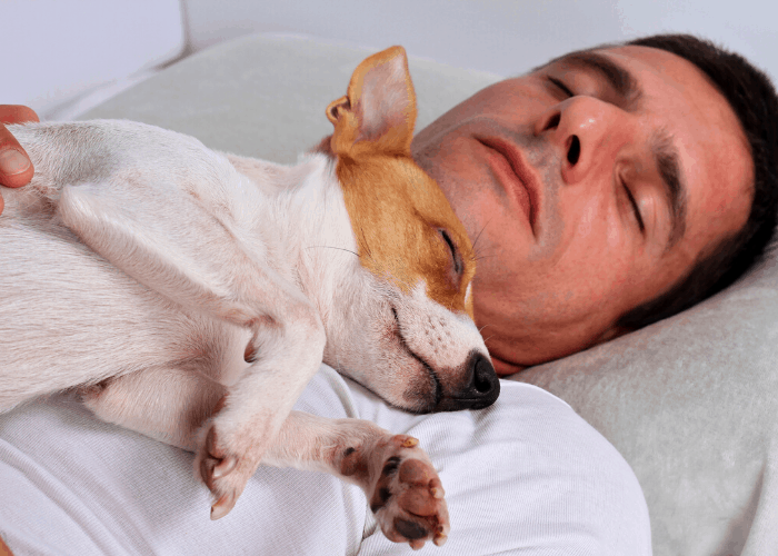 jack russell sleeping on top of its male owner