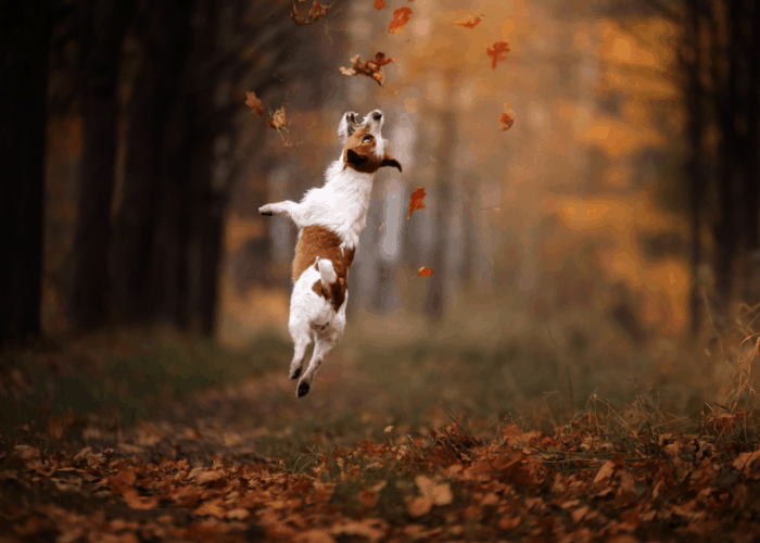 jack russell terrier jumping in the forest