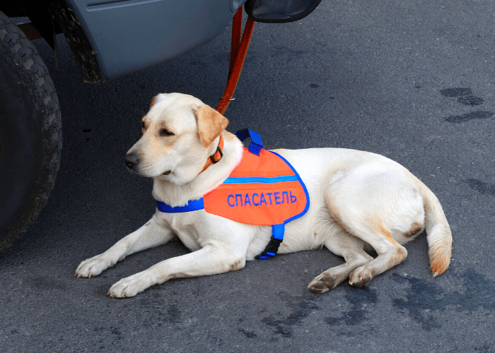 labrador as a service dog