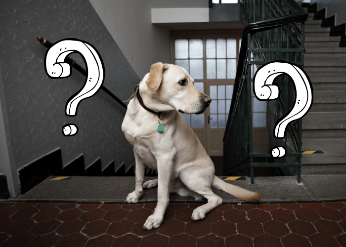 labrador retriever at the stairs of an apartment building with questions beside it