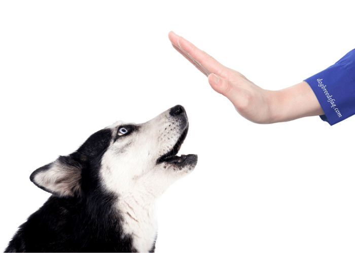 lady owner with purple sleeve gesturing husky to stop barking