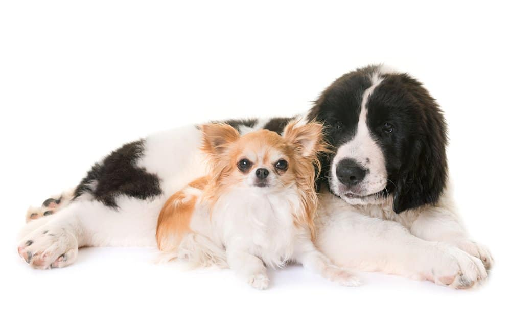 landseer puppy and chihuahua