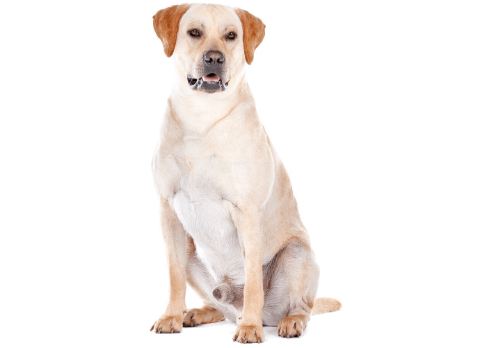 male labrador retriver sitting on white background