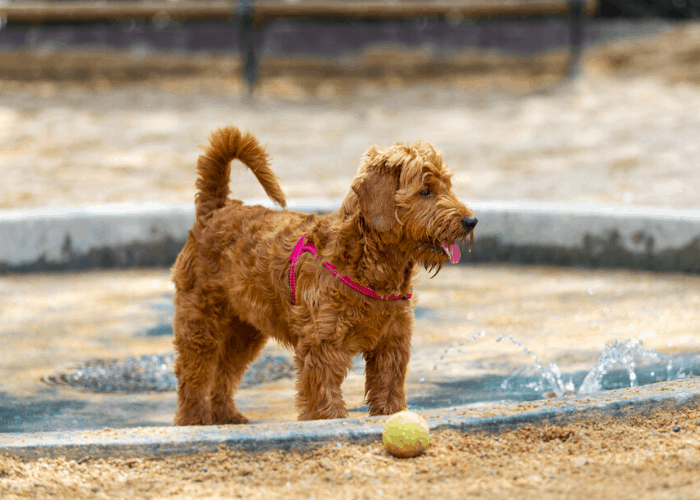 mini goldendoodle in a pool