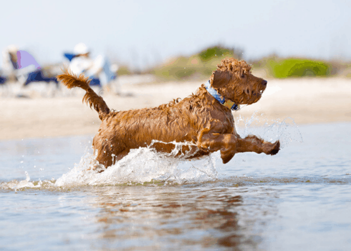 mini goldendoodle playing in the beach water