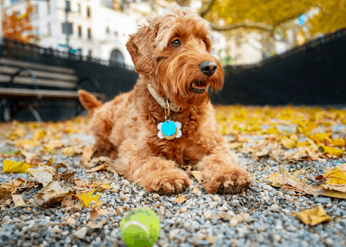 mini goldendoodle relaxing in the park