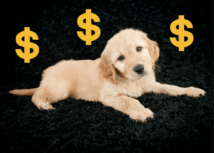 mini goldendoodle with 3 dollar sign lying on a dark background