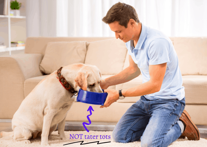 owner feeding his labrador retriver with collar in the lounge room