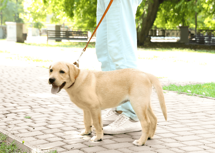 owner walking its labrador retriever at the park