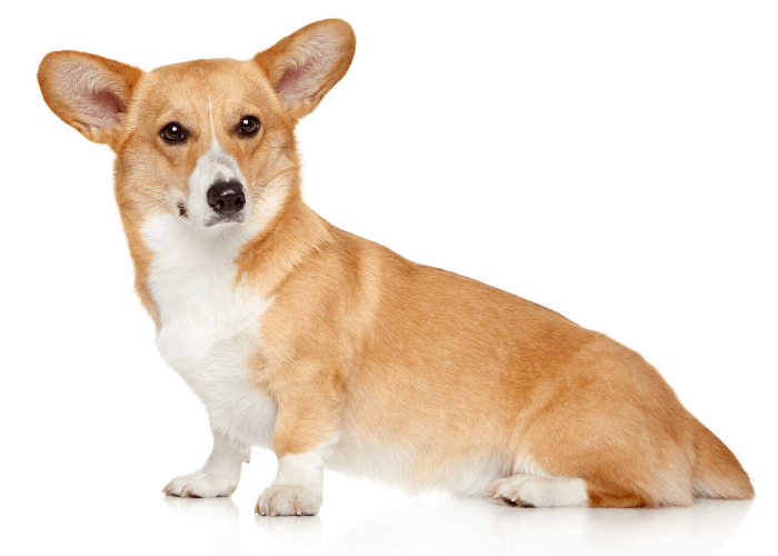 pembroke welsh corgi dog on white background
