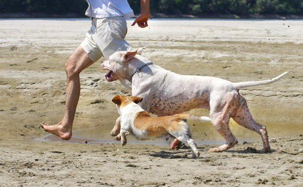 white pit bull and a small dog running with their owner on the beach