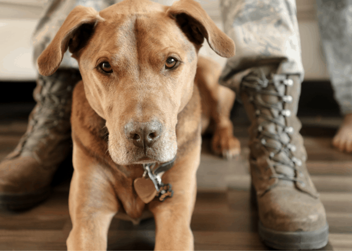 pit bull as police and military dogs