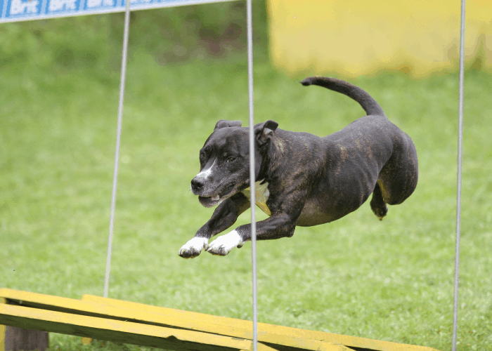 pit bull in agility course