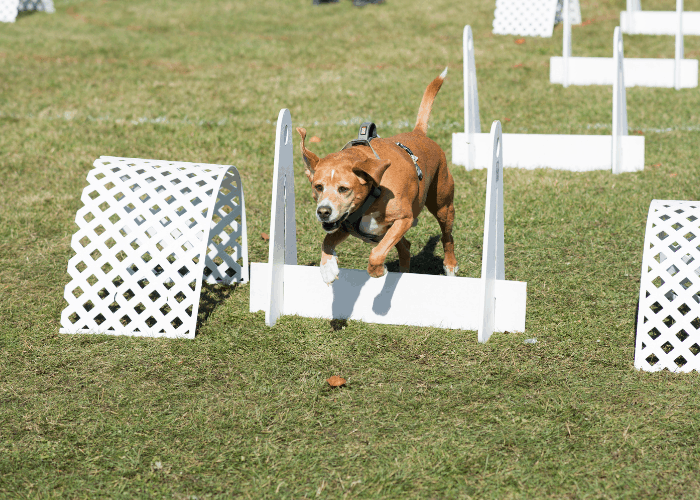 pit bull in flyball show