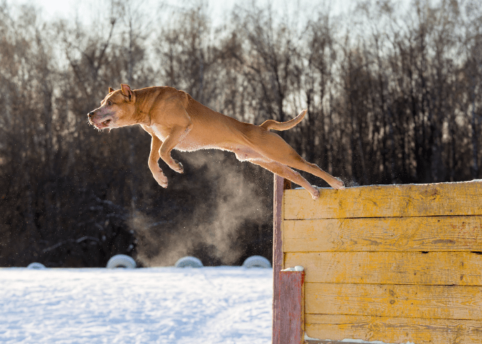 pit bull jumping over a fence