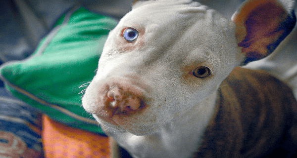 pit bull puppy with blue right eyes