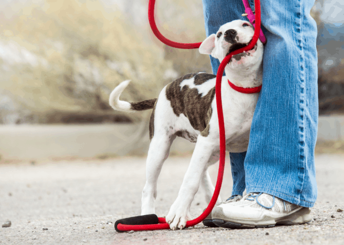 pit bull puppy with red leash being trained by owner