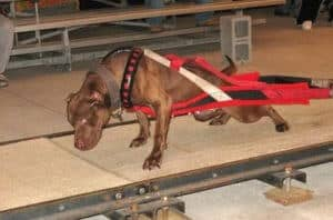 a pit bull pulling weights on a wooden surface