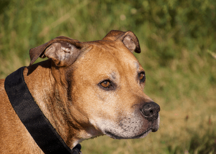 pit bull with dark collar outdoors