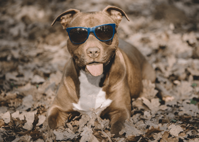 pit bull with sunglasses in the dried leaves