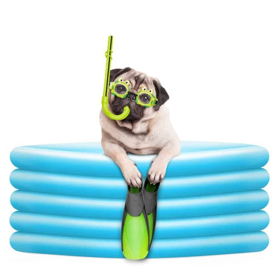 pug dog with goggles, snorkel and flippers in inflatable pool
