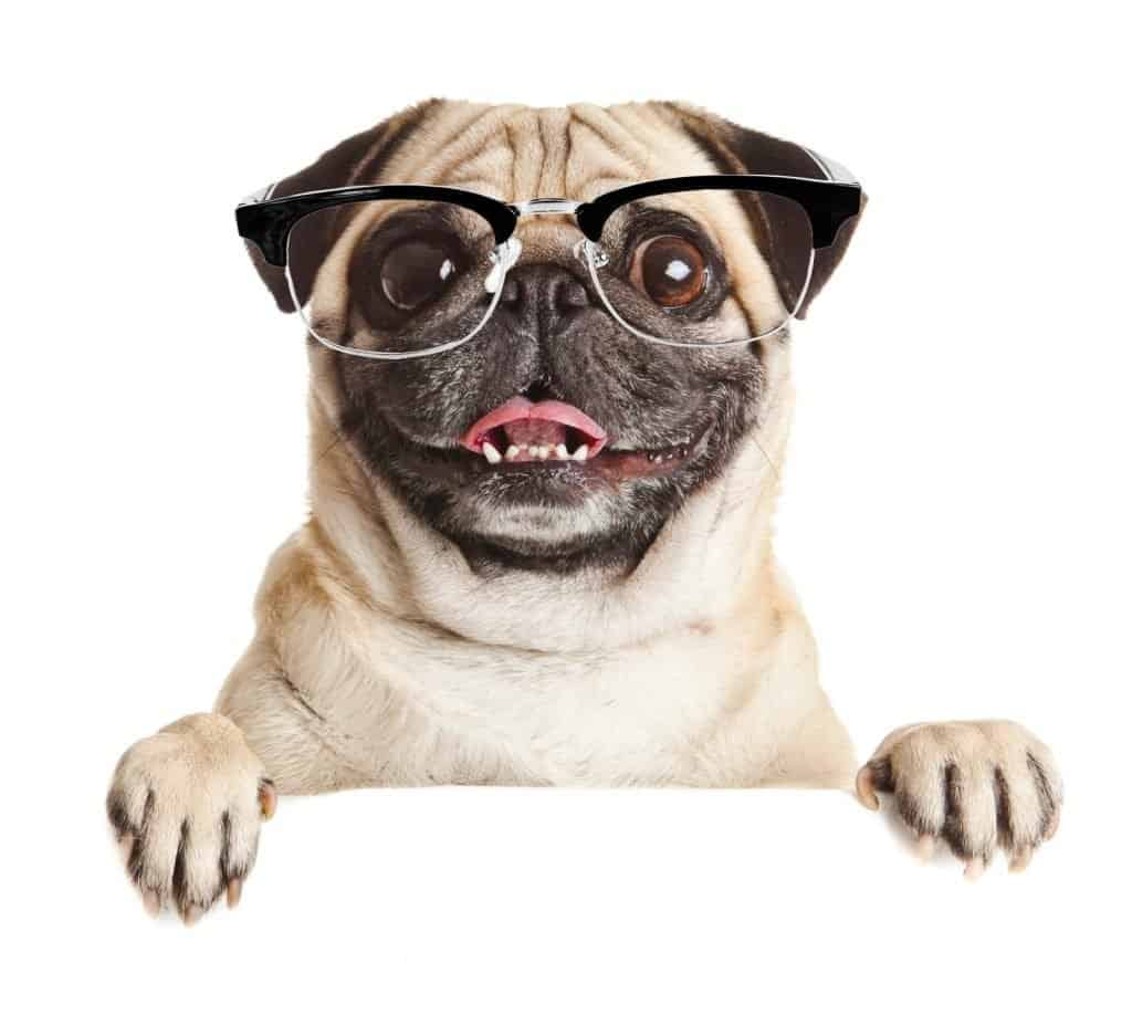 Pug wearing glasses and holding a blank sign.
