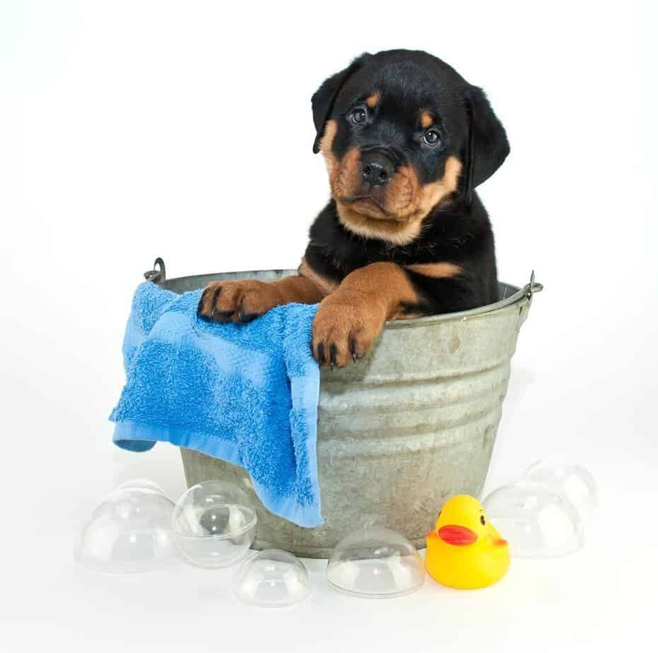 rottweiler puppy having a bath