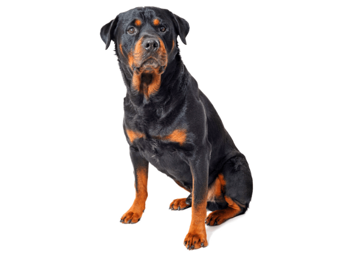 rottweiler sitting against a white background