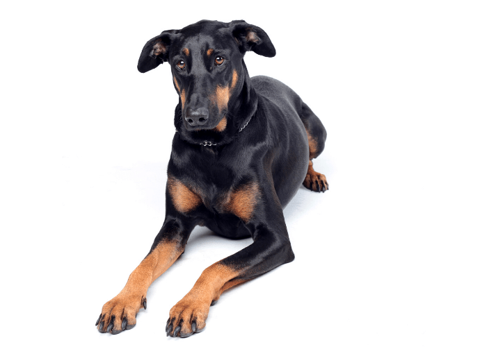 sad doberman pinscher on a white background
