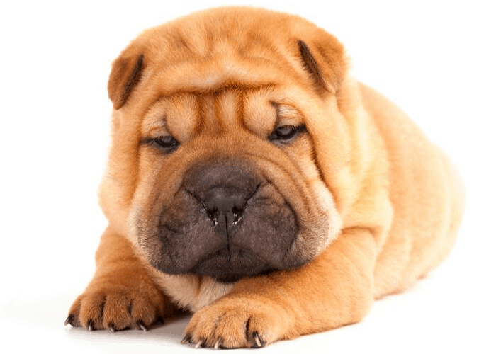 shar-pei puppy on white background