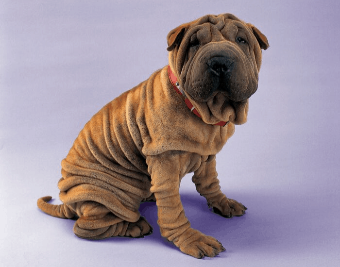 shar-pei puppy sitting on light violet background