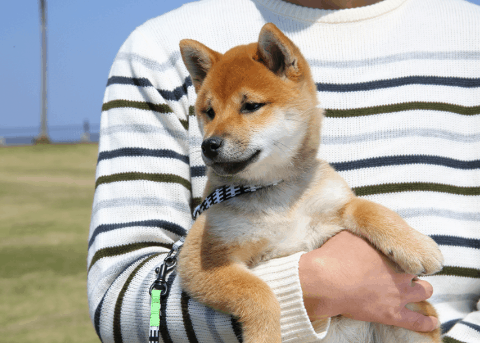 shiba inu being carried its owner