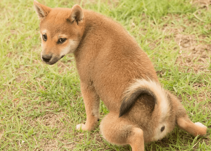 shiba inu potty training