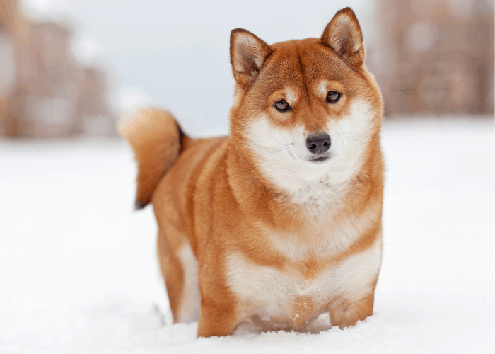 shiba inu standing in the snow