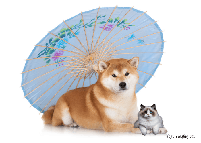 hiba inu with umbrella and a cat lying on its legs