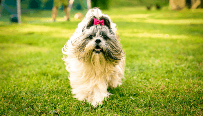 shih tzu walking on the lawn