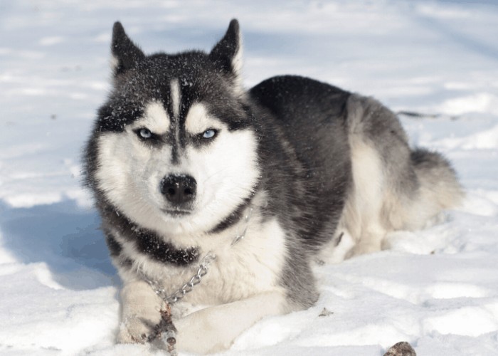 siberian husky lying on the snow