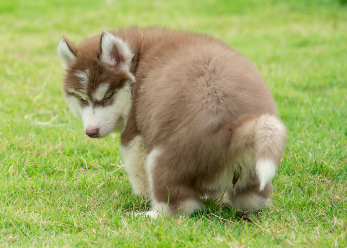 siberian husky puppy pooping on the lawn