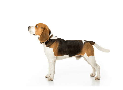 side view of beagle with collar on white background