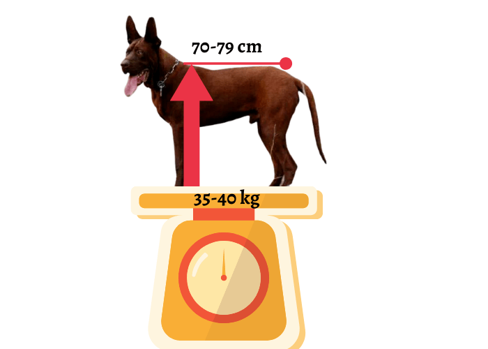 size and weight of chinese red dog