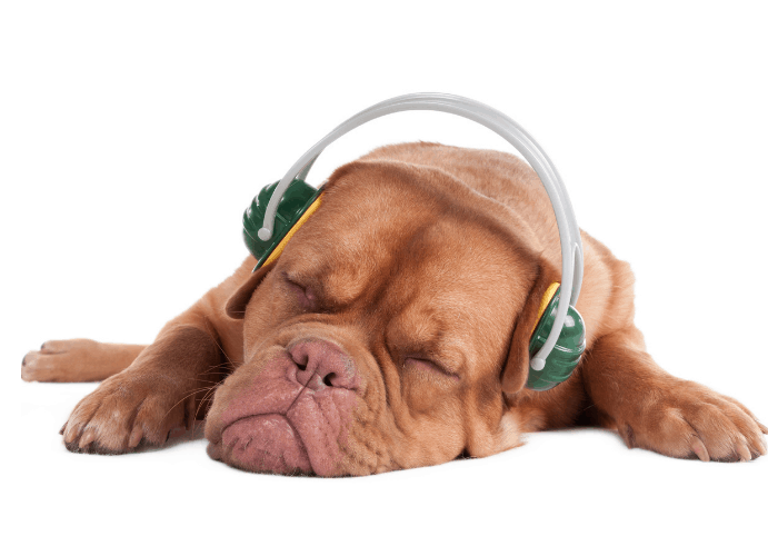 sleeping bulldog with headphones
