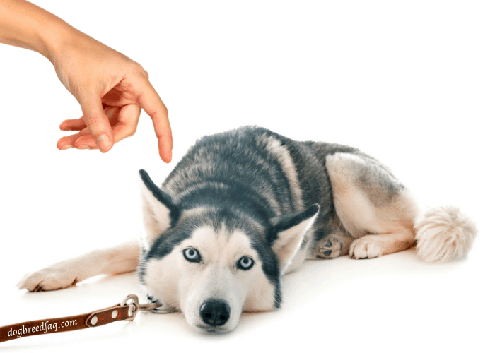 timid husky being finger tap by owner