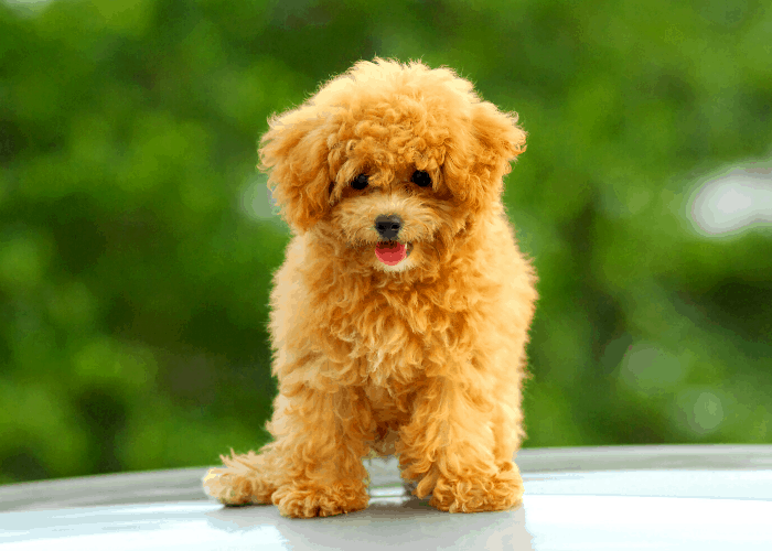 toy poodle standing on the table