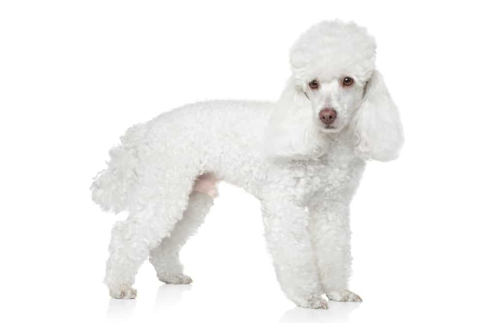 white toy poodle standing on white background