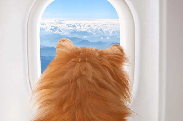 Small dog on board of airplaine looking out the window at the clouds while traveling