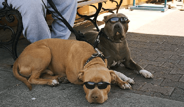 two pit bulls with sunglasses on leash, lying down with their owner